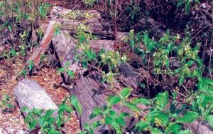 Khayer-wood