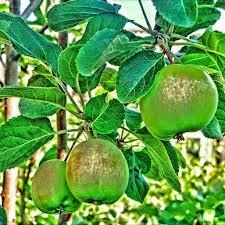 Apple plant