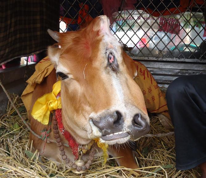 GL-Ilam-Anoutho Cow