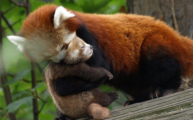baby-red-panda-cub-hugging-mommy